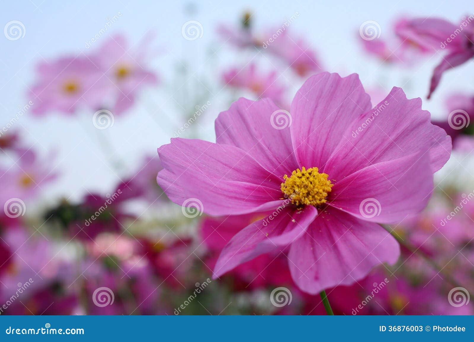 Download Fiore rosa dell'universo immagine stock. Immagine di paesaggio - 36876003