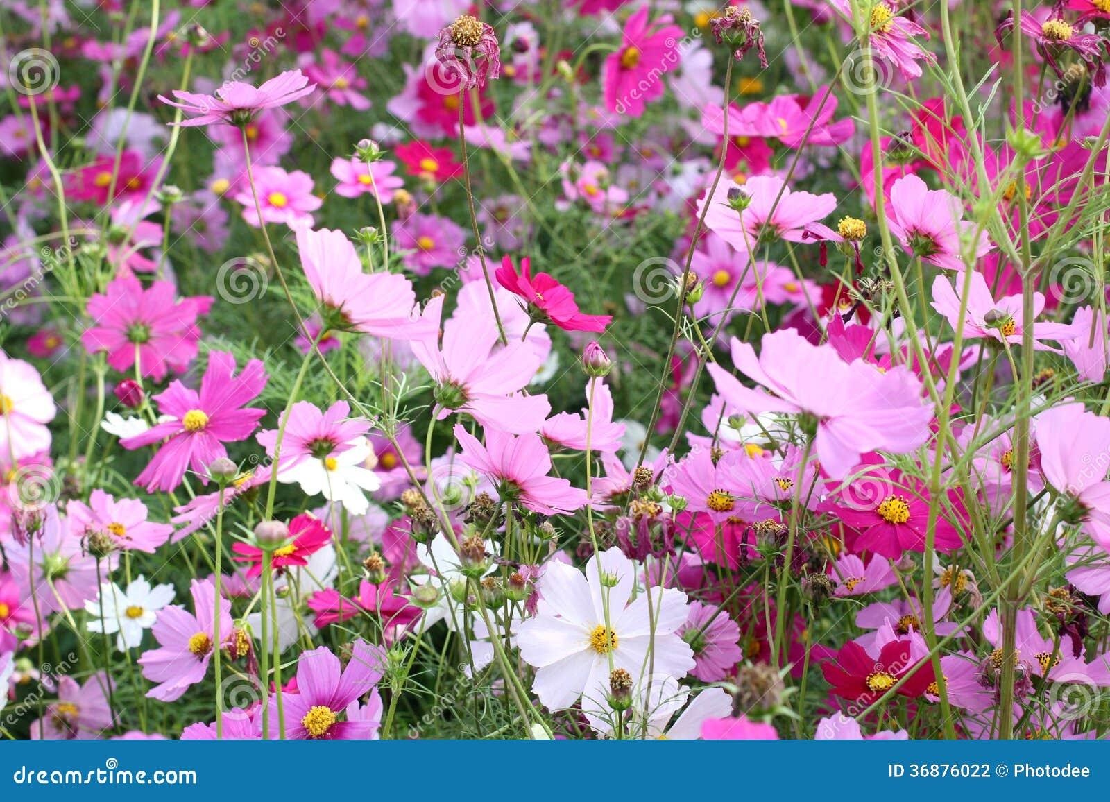 Download Fiore rosa dell'universo fotografia stock. Immagine di fresco - 36876022