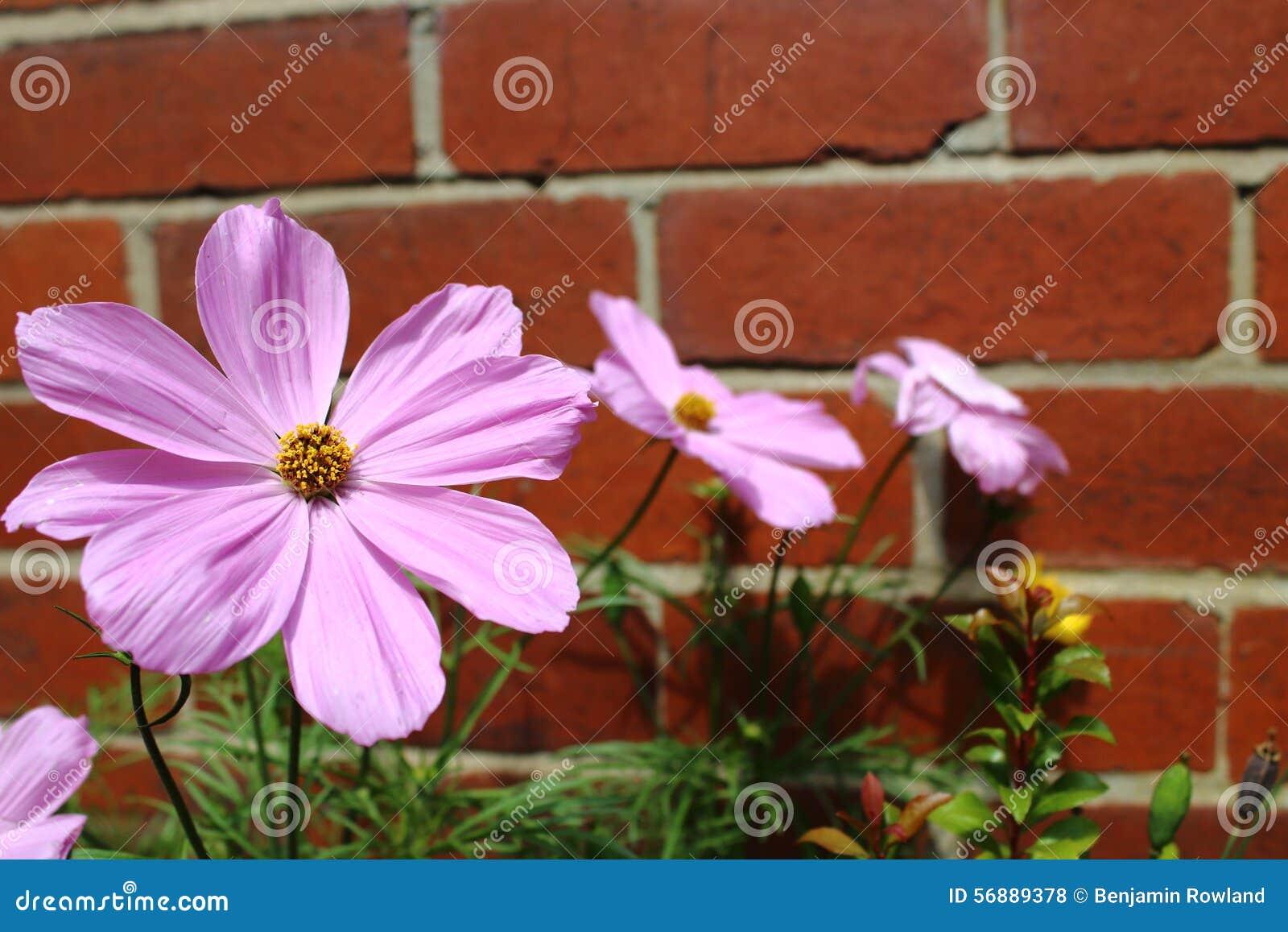 Fiore rosa dell universo contro il muro di mattoni