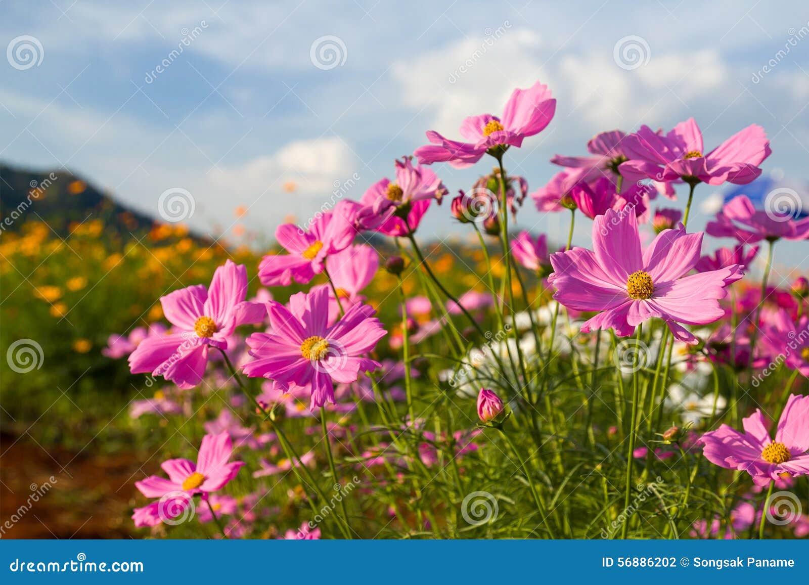 Fiore rosa dell universo in giardino