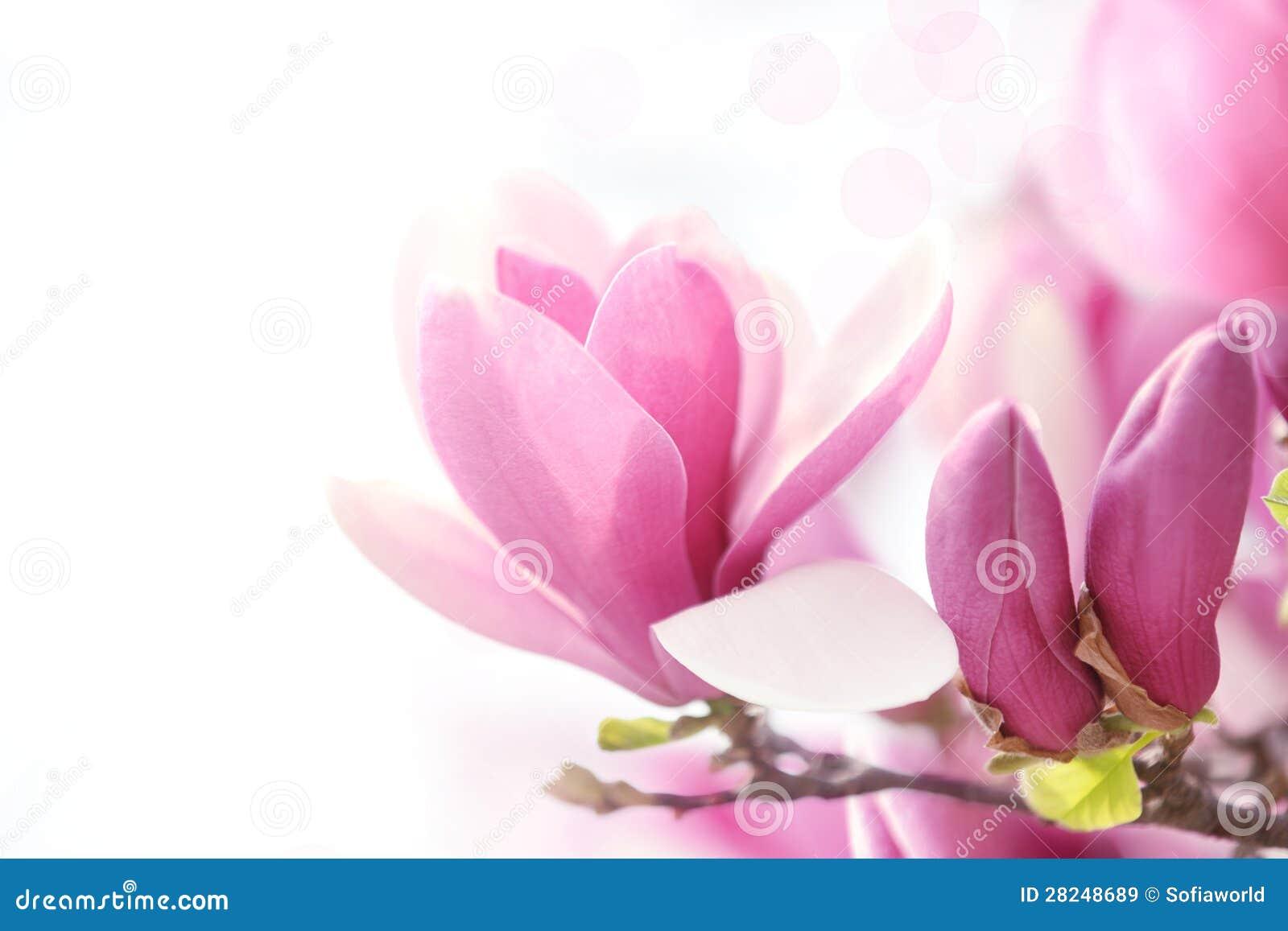 Fiore rosa della magnolia immagine stock immagine di for Magnolia pianta prezzi