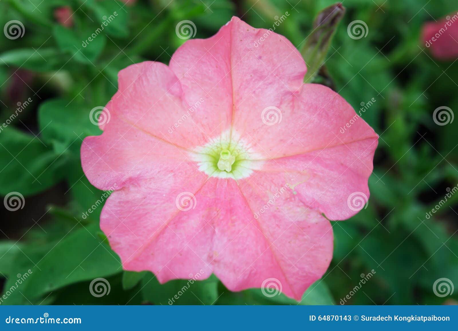 Nomi Di Fiori Rosa.Fiore Rosa Della Rosa Del Deserto Altri Nomi Sono Rosa Del