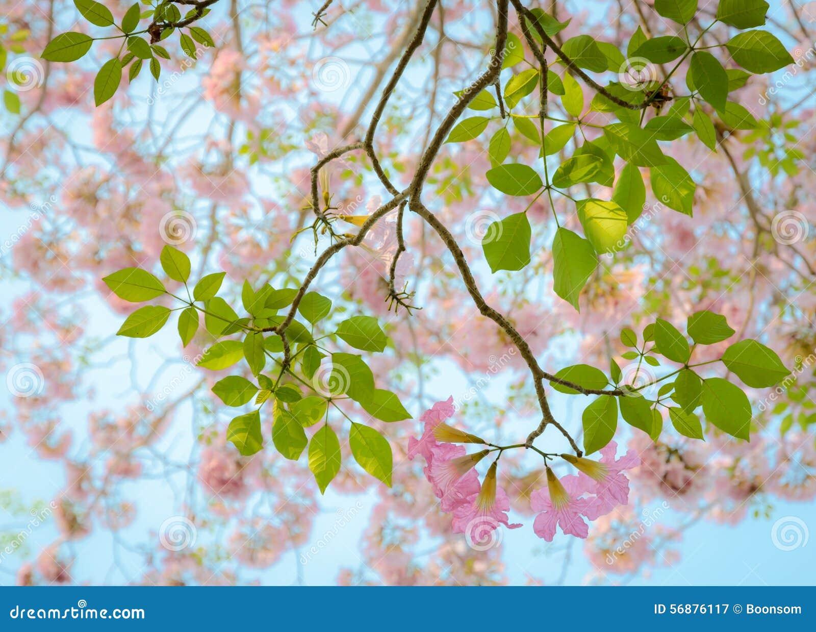 Fiore rosa di Tabebuia della tromba