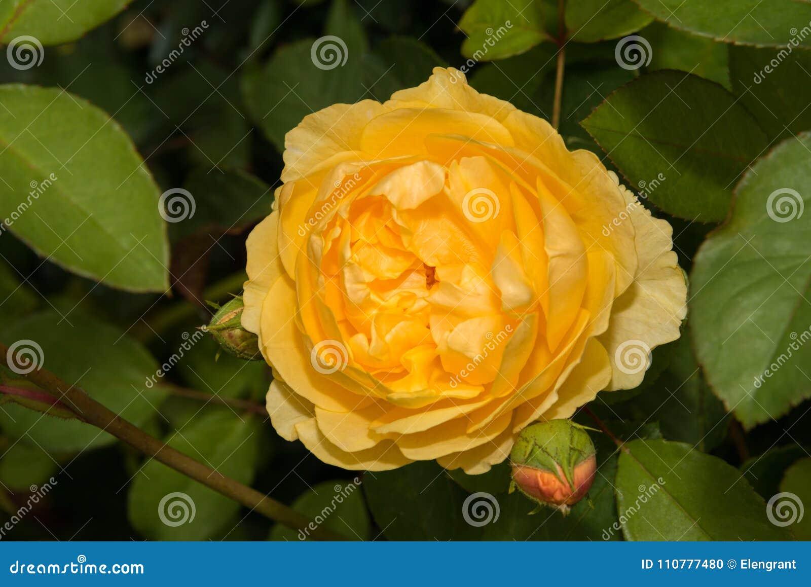 Fiori Giallo Oro.Fiore Rosa Giallo Oro Del Fiore Sul Fondo Delle Foglie Verdi