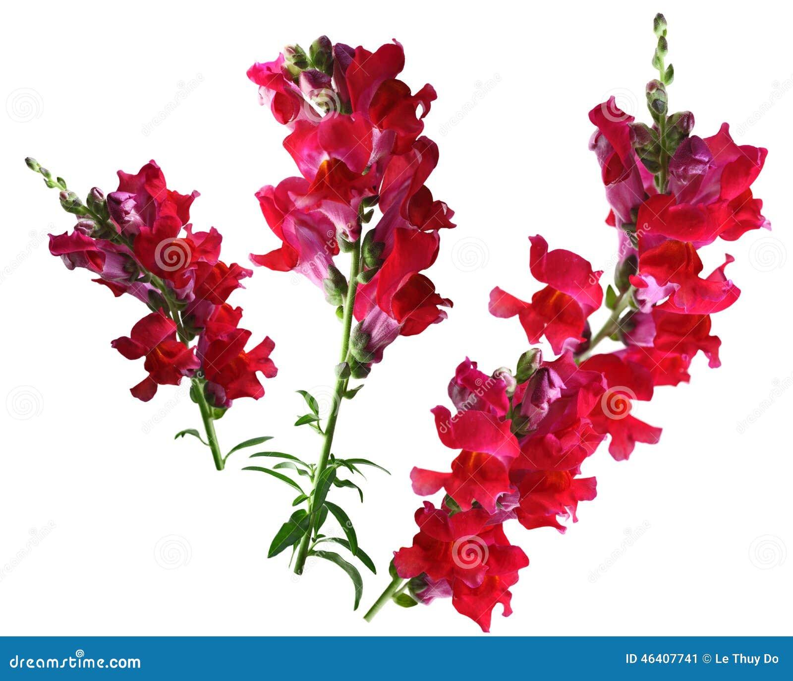 Fiore rosso di bocca di leone fotografia stock immagine for Bocca di leone in vaso