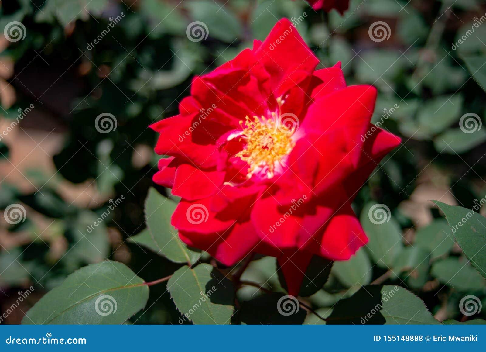 Fiore rosso Ina un giardino in Nyeri Kenya