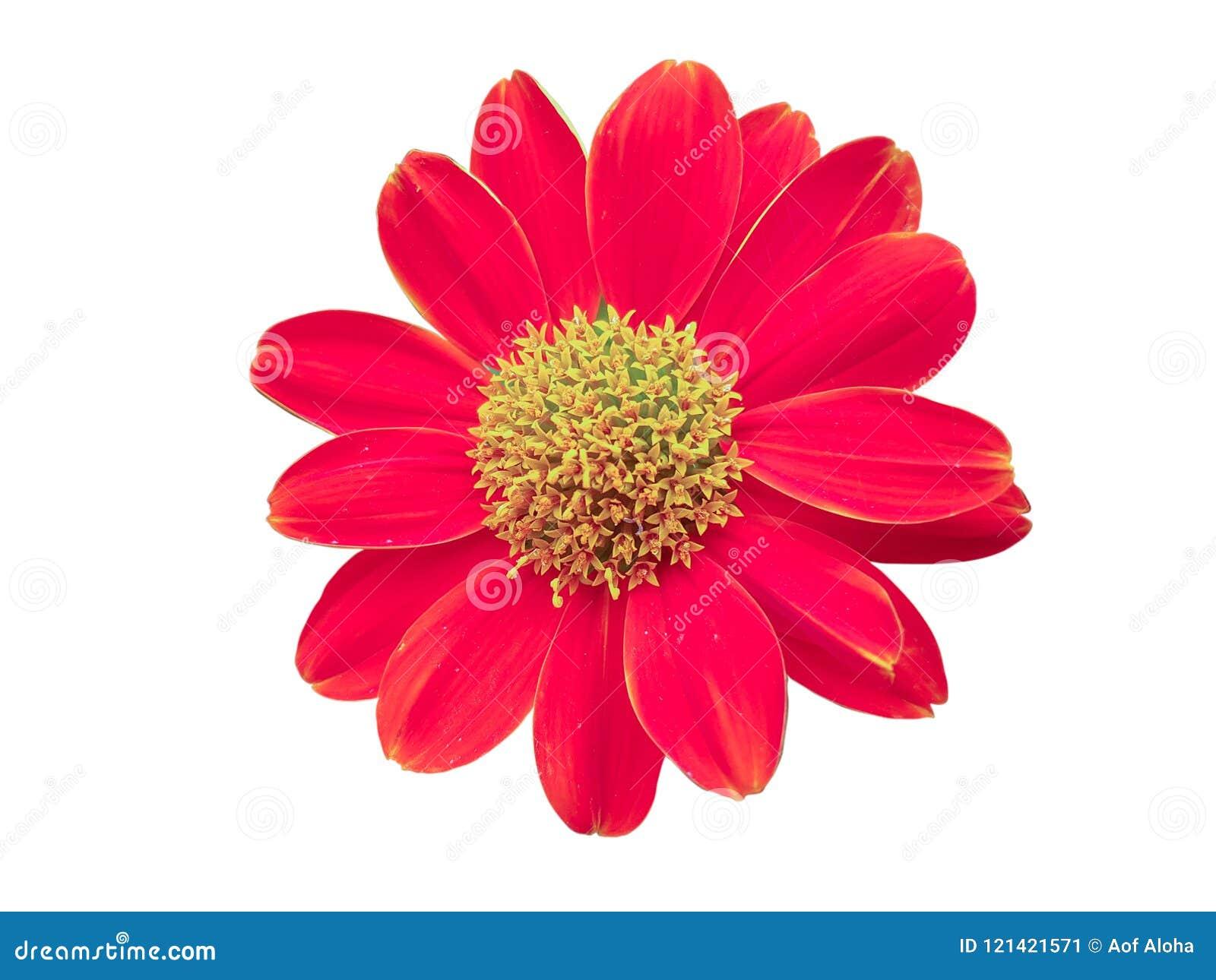 Fiore rosso isolato su priorità bassa bianca