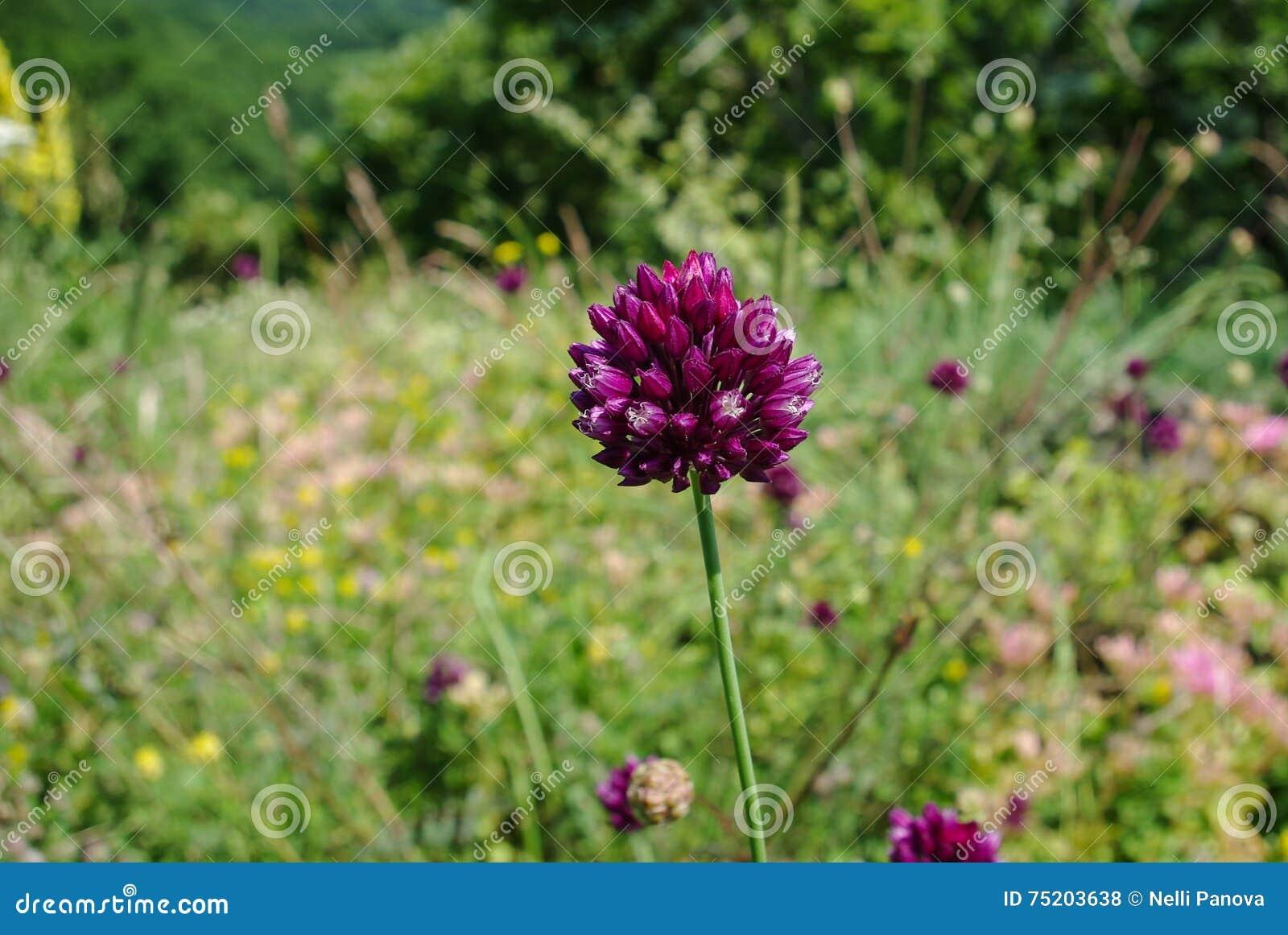 Fiore rosso nei prati alpini