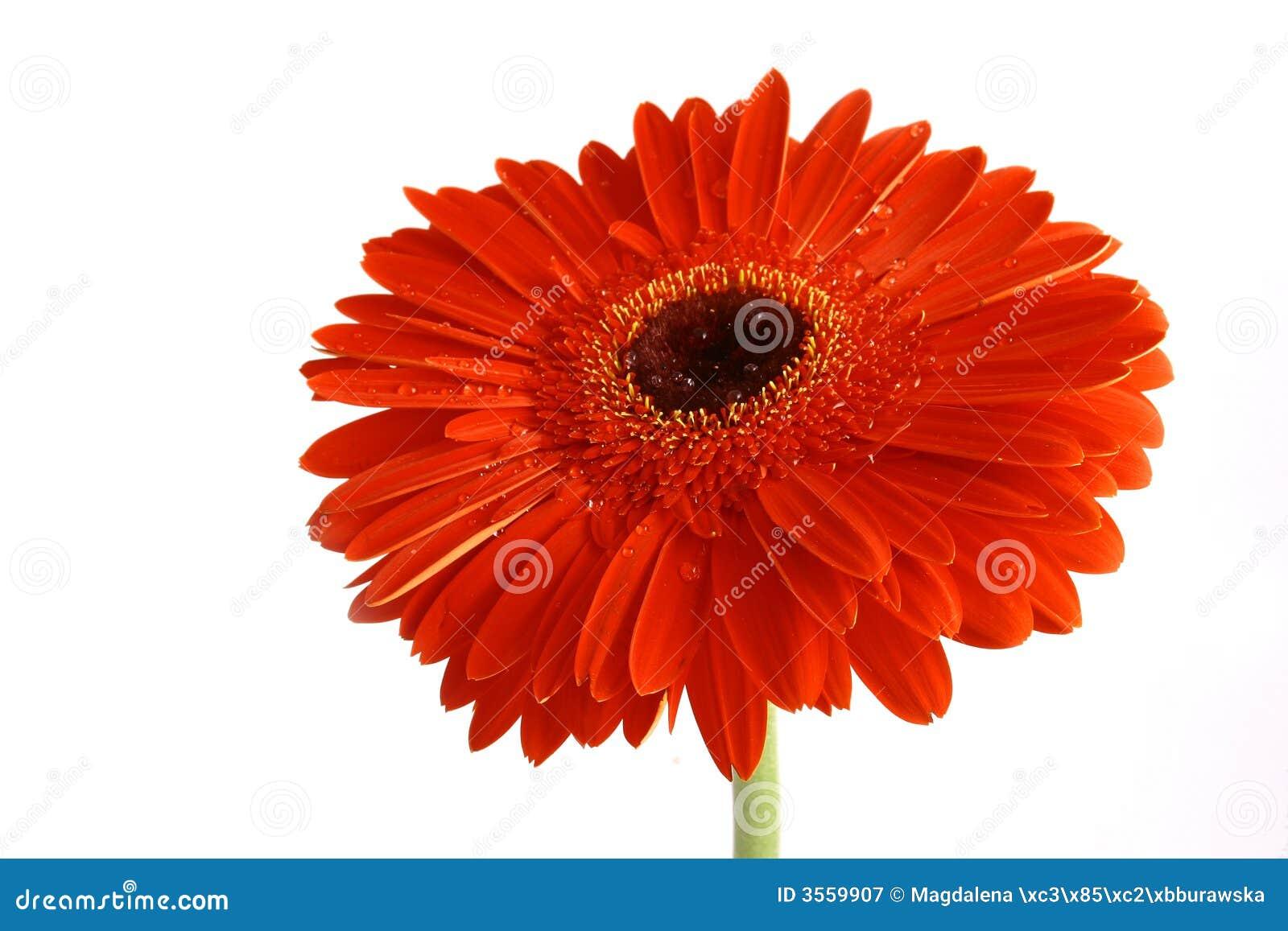Fiore rosso su un backgrou bianco