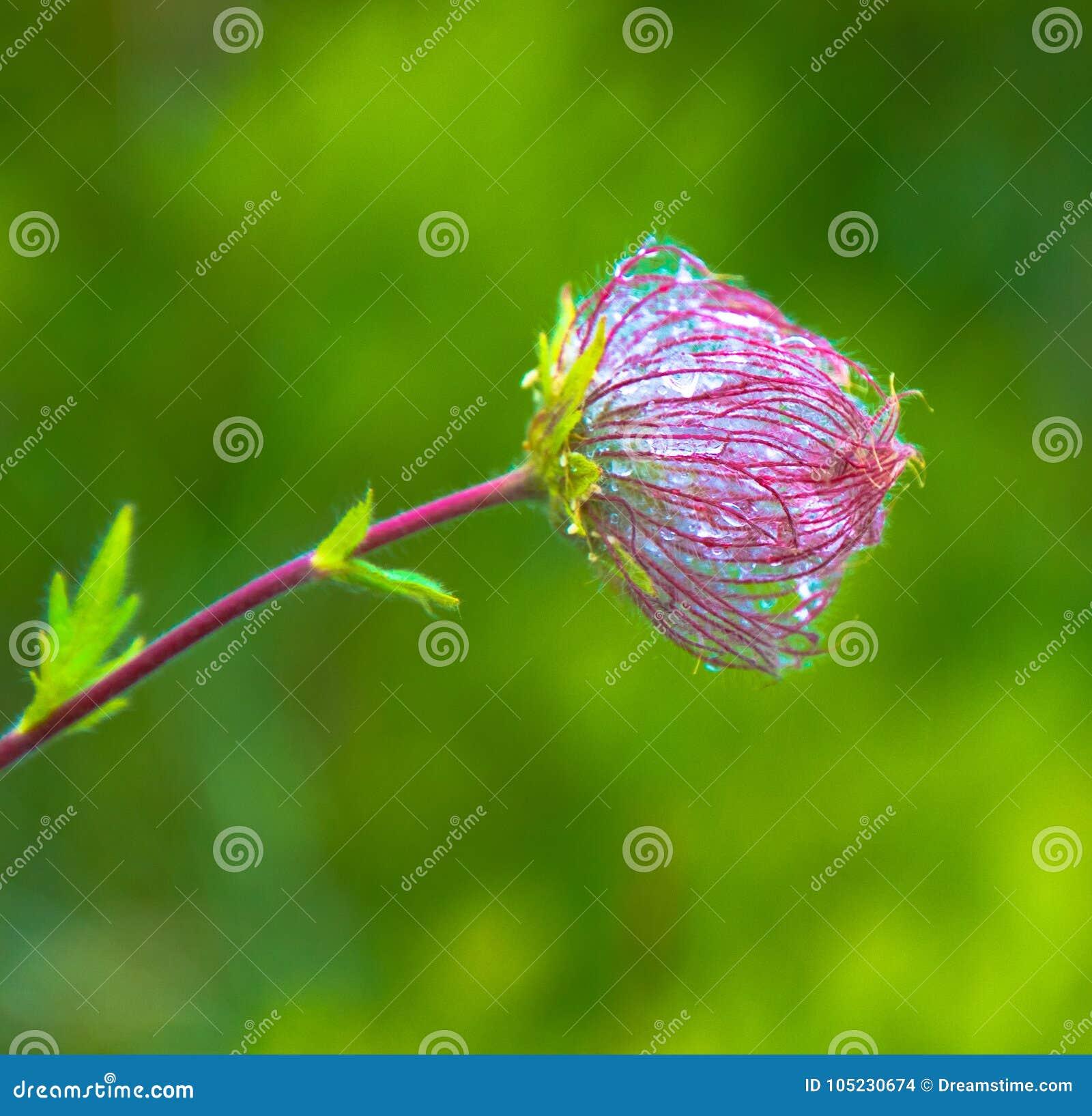 Fiore selvaggio della montagna coperto di rugiada
