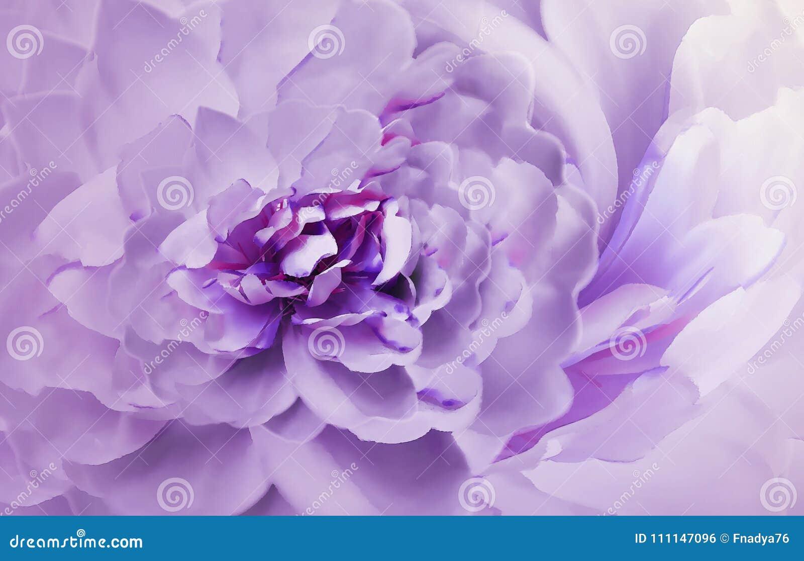 Carta Da Parati Pelosa Rosa : Fiore sul bokeh porpora rosa confuso del fondo crisantemo bianco