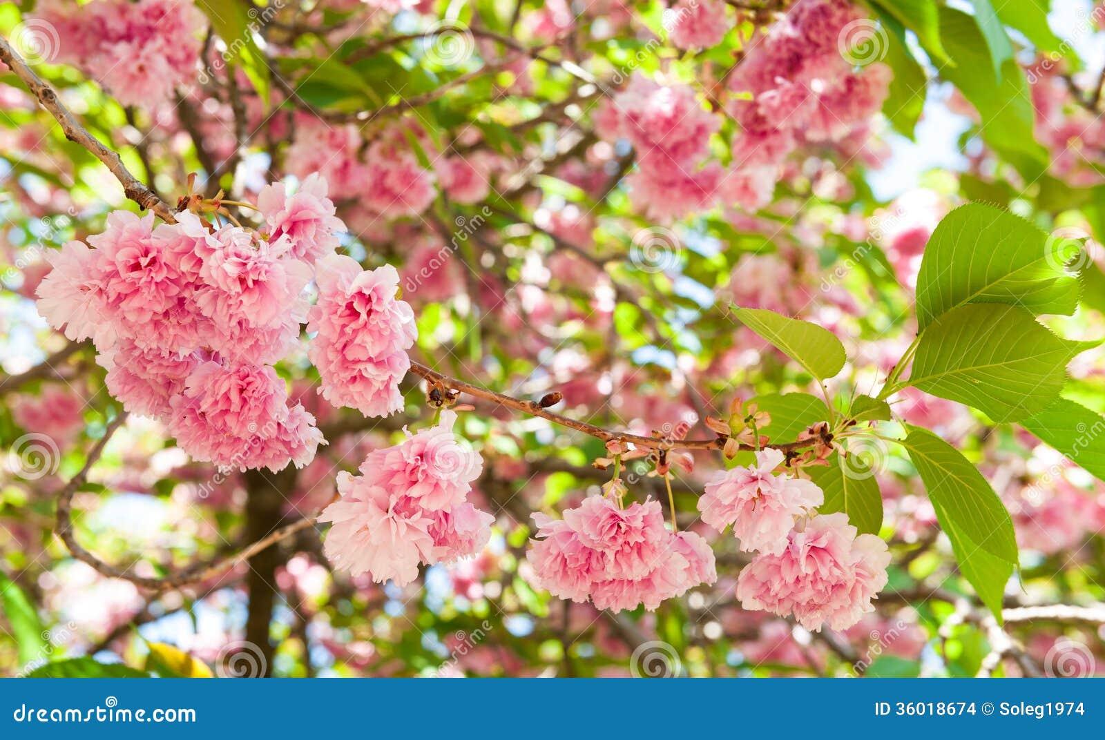 Fiore sull 39 albero fiore di ciliegia in primavera for Sakura albero