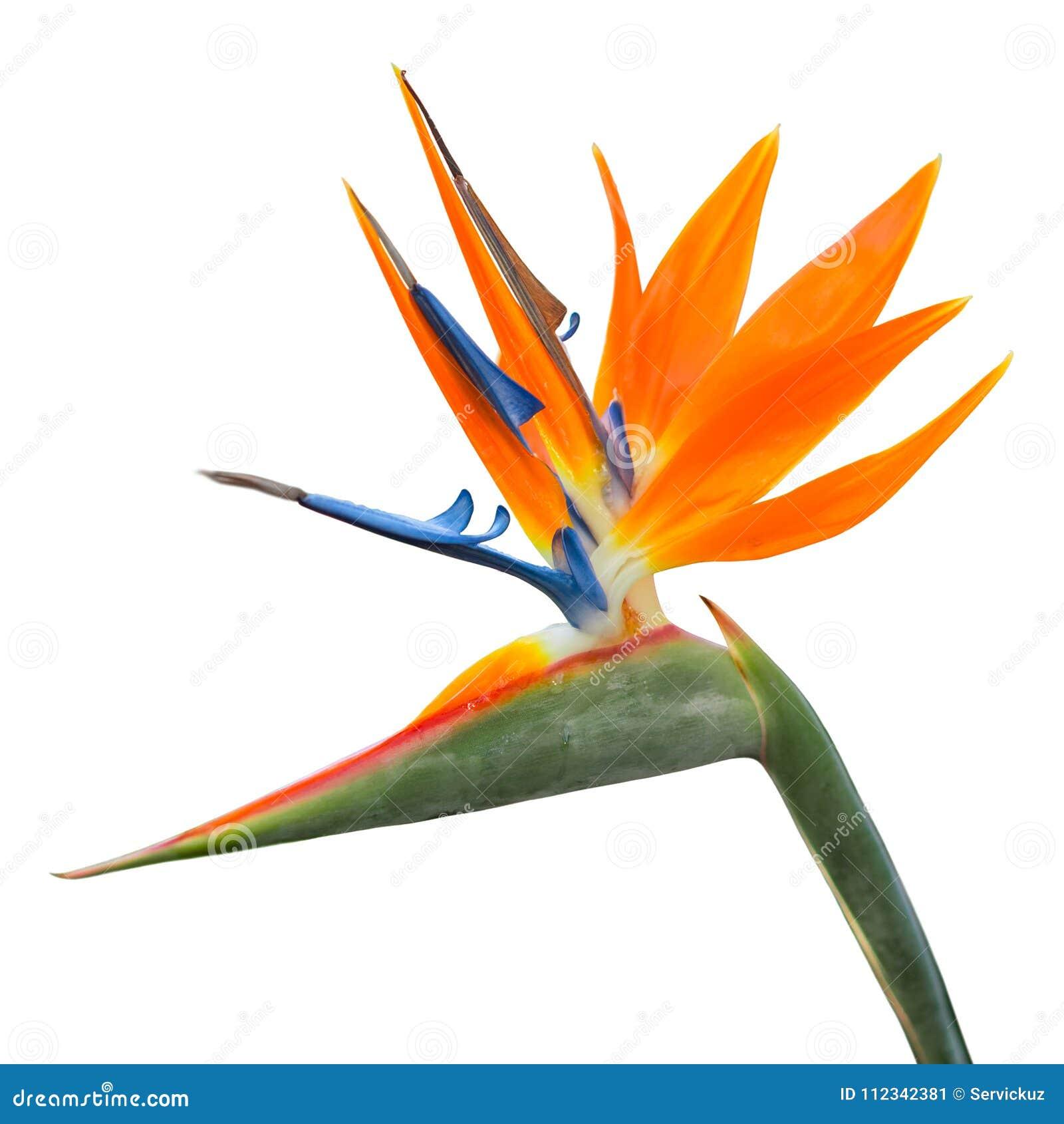Fiore Tropicale Esotico Isolato Dello Strelitzia Reginae O