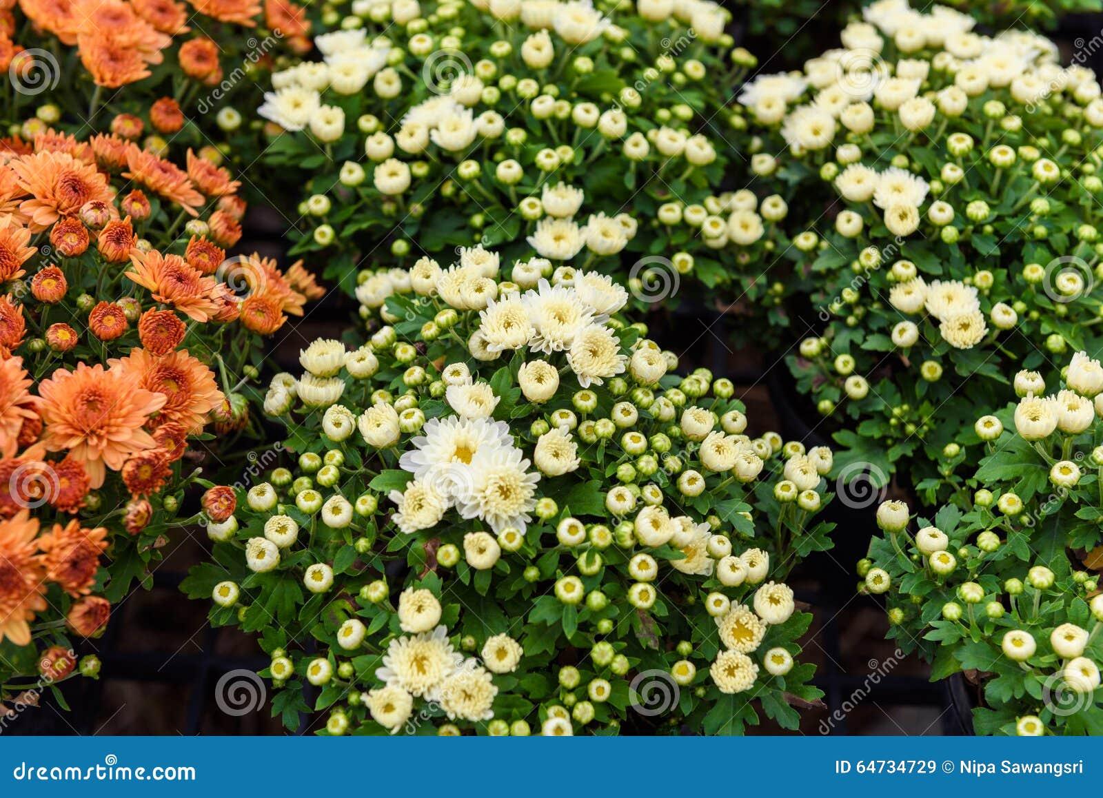 Fiore variopinto di zinnia