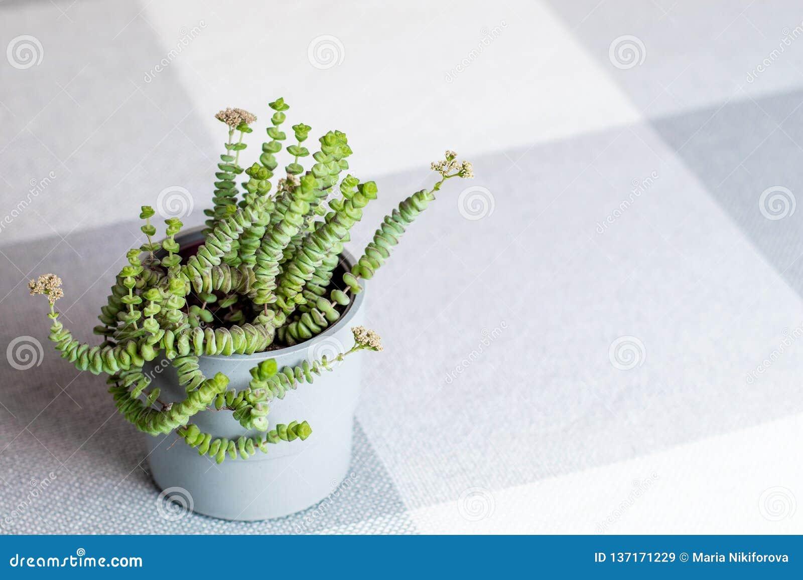 Fiore verde, crassula Nealeana, pianta succulente rara in un vaso grigio, copyspace