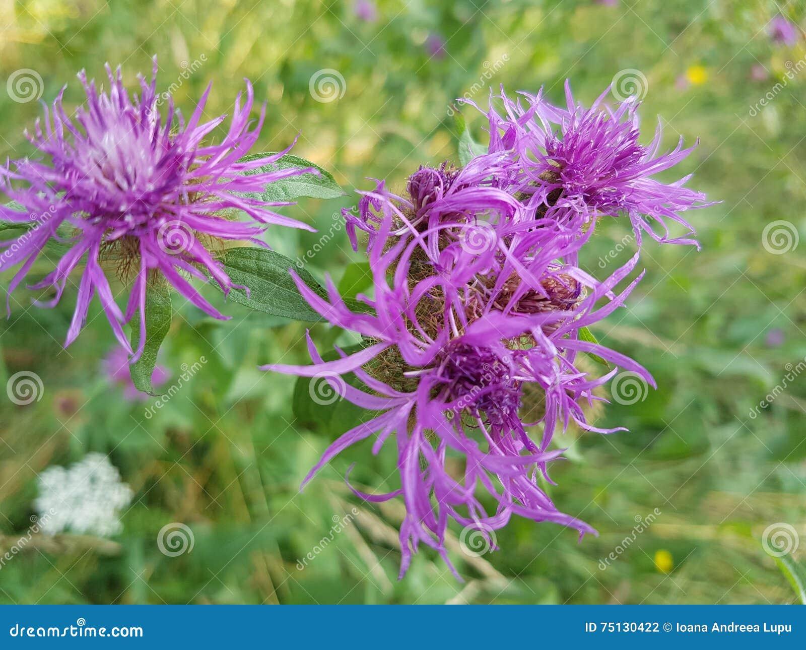 Fiore viola