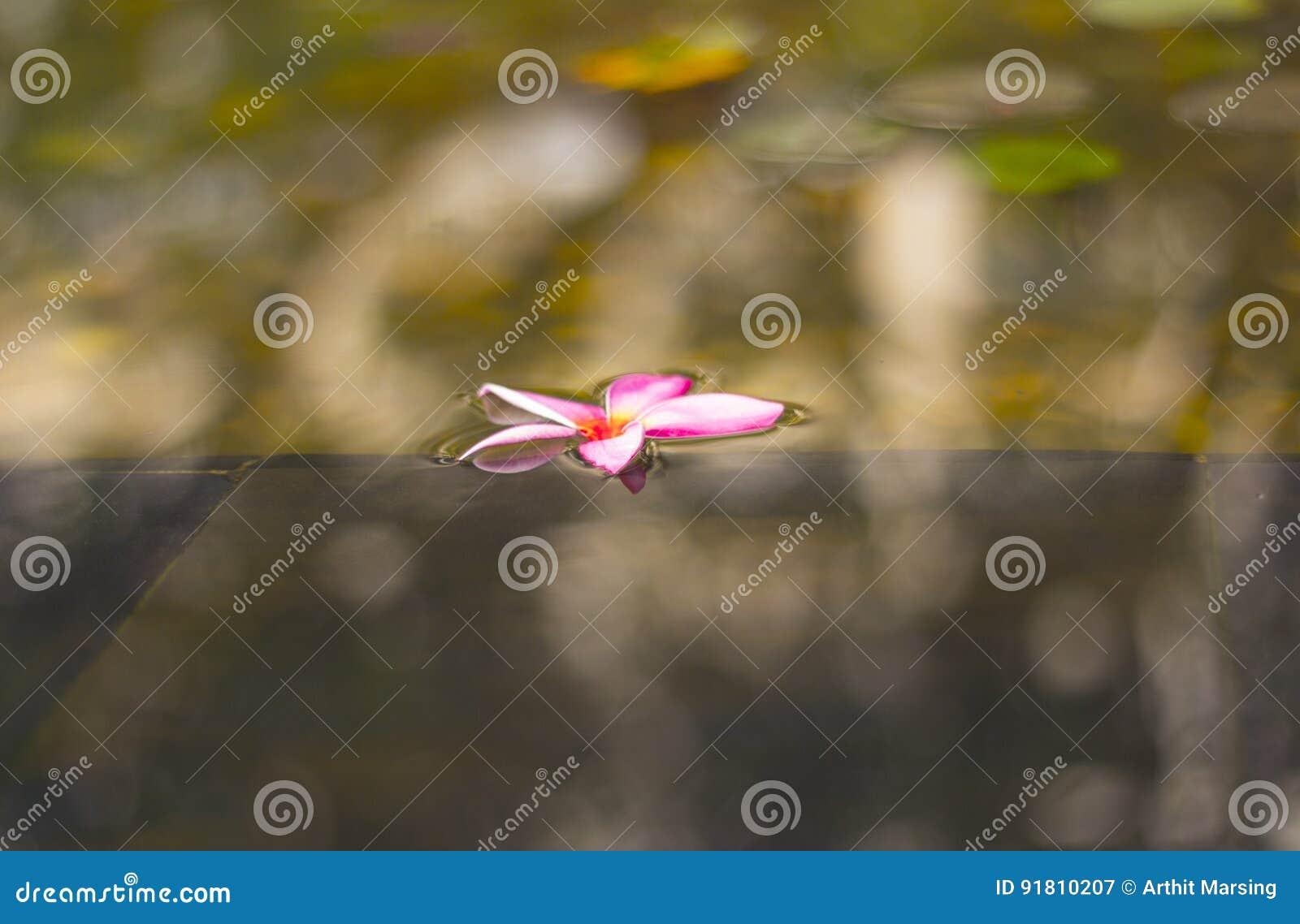 Fiore viola rosa del frangipane che galleggia sull acqua