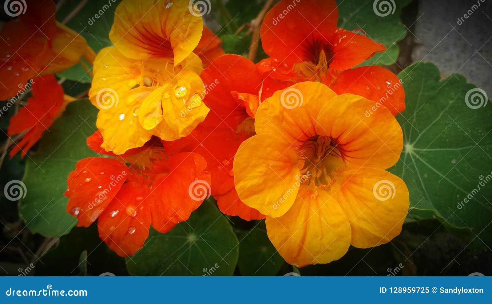 Fiori Arancioni E Gialli.Fiori Arancio E Gialli Del Nasturzio Con Le Gocce Di Pioggia