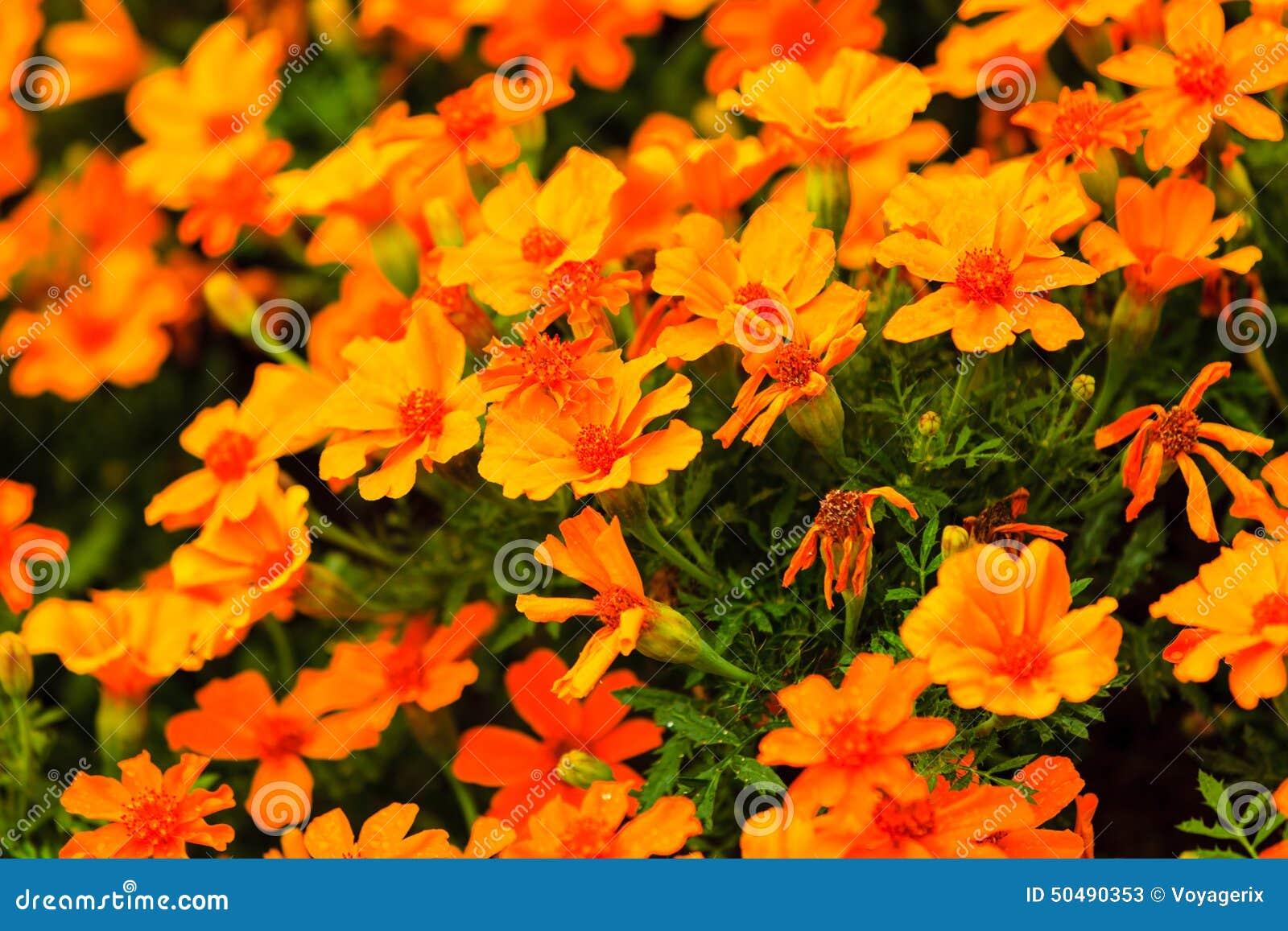 Fiori arancio nel giardino primavera o fondo di estate immagine stock immagine di luminoso - Fiori da giardino primavera estate ...