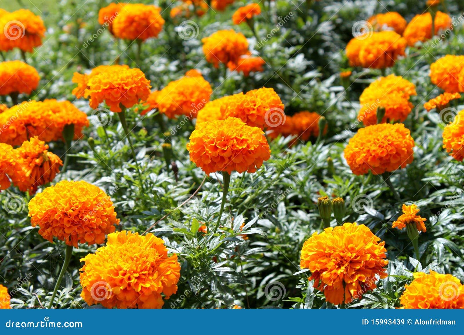 fiori gialli o arancioni