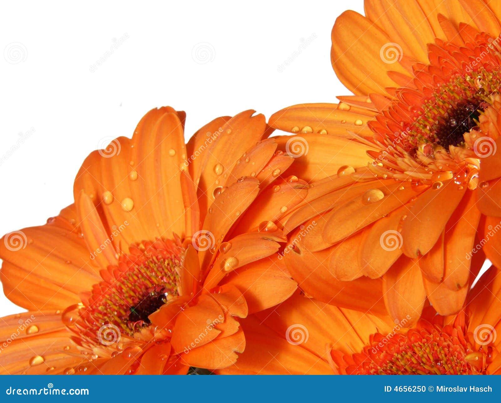 Fiori arancioni del gerber fotografia stock immagine for Fiori gerbere