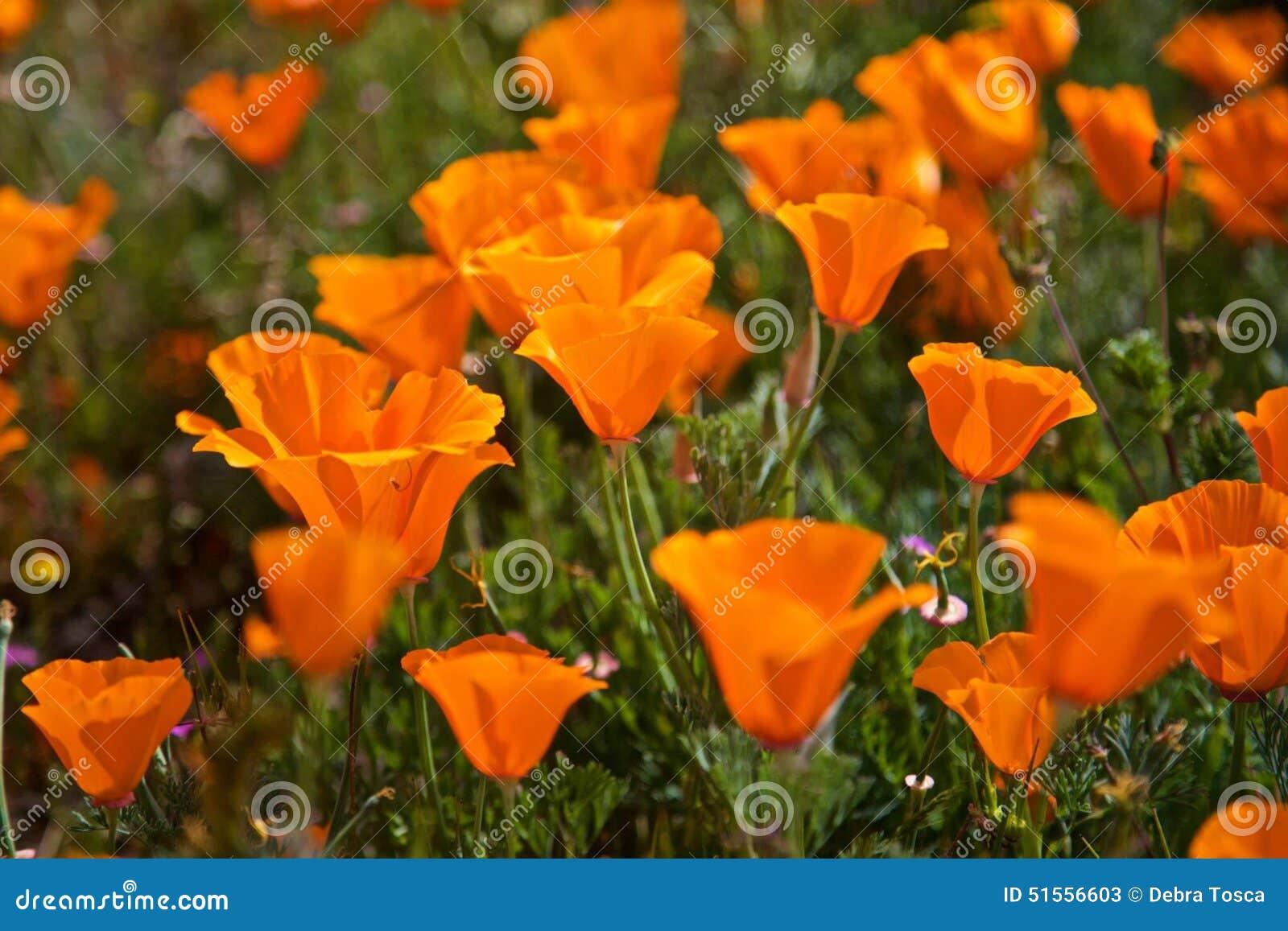 Fiori Arancioni.Fiori Arancioni Del Papavero Immagine Stock Immagine Di Papavero