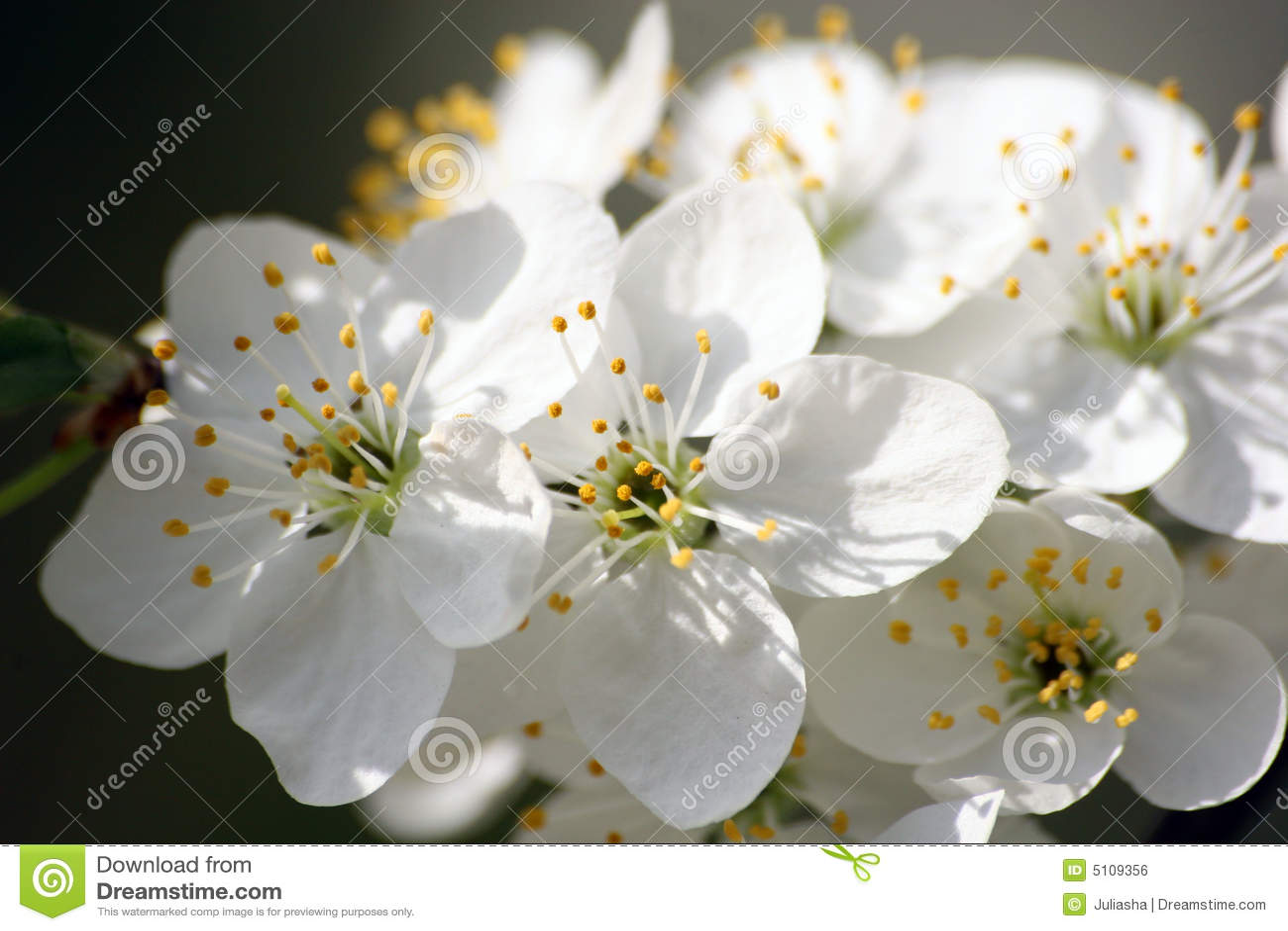 Fiori bianchi fotografia stock immagine di cielo for Sempreverde con fiori bianchi e profumati