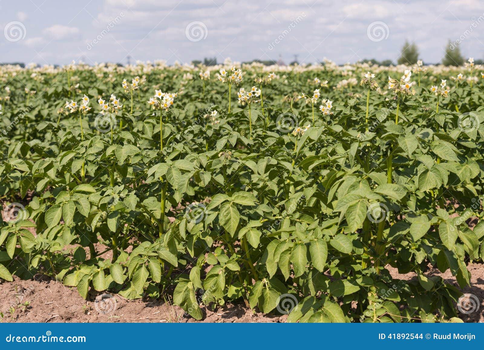 Fiori bianchi con gli stami gialli delle piante di patate for Piante di lamponi acquisto