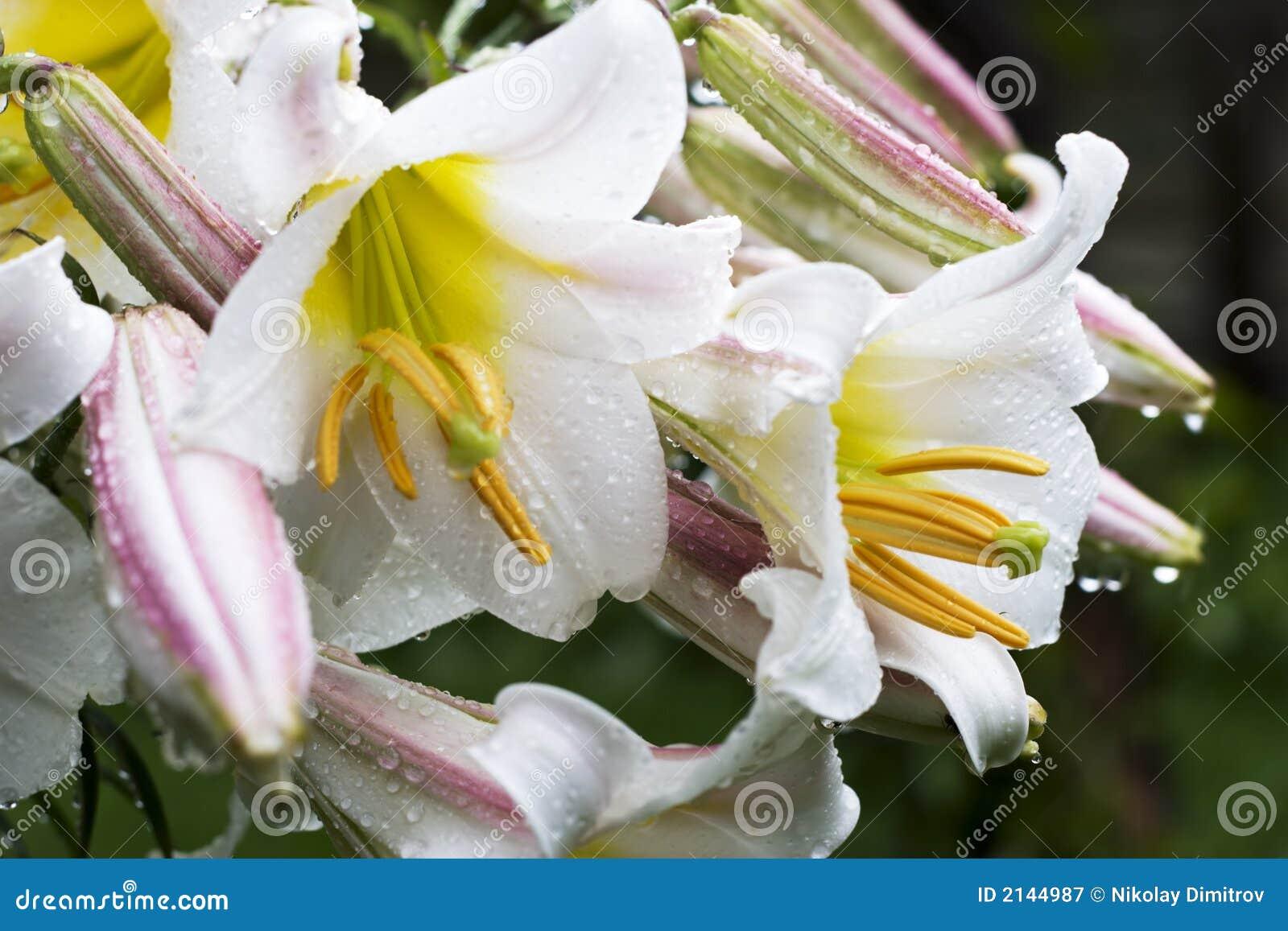 Fiori bianchi con le gocce dell acqua