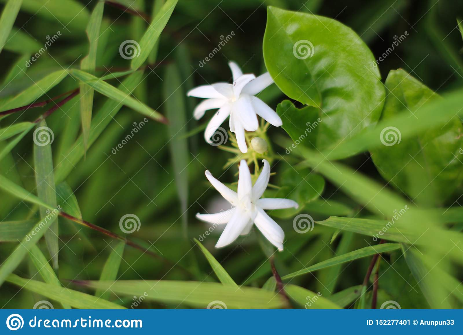 Fiori bianchi del gelsomino