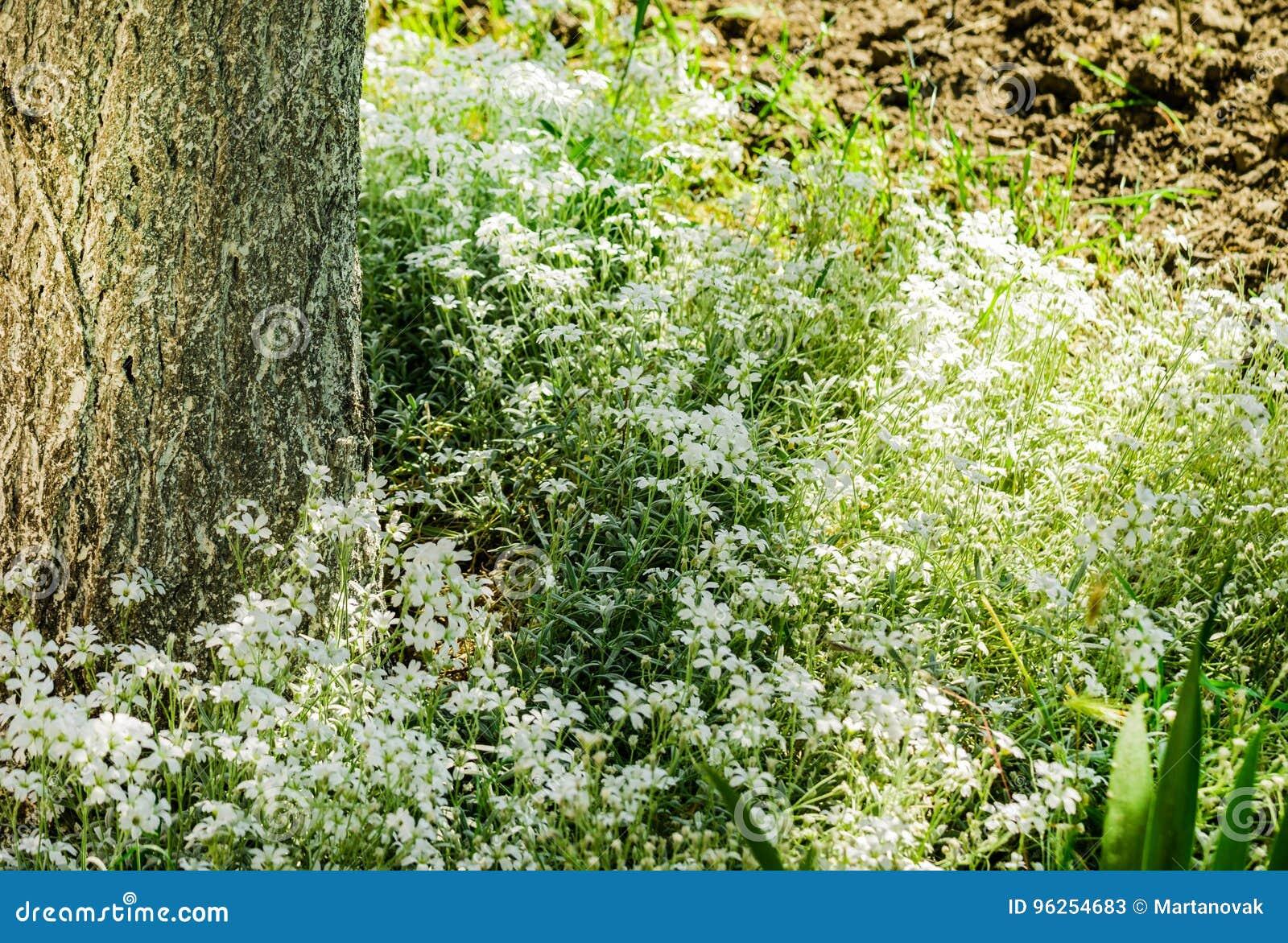 Fiori Da Giardino Roccioso fiori bianchi del giardino roccioso del cerastio dell'topo