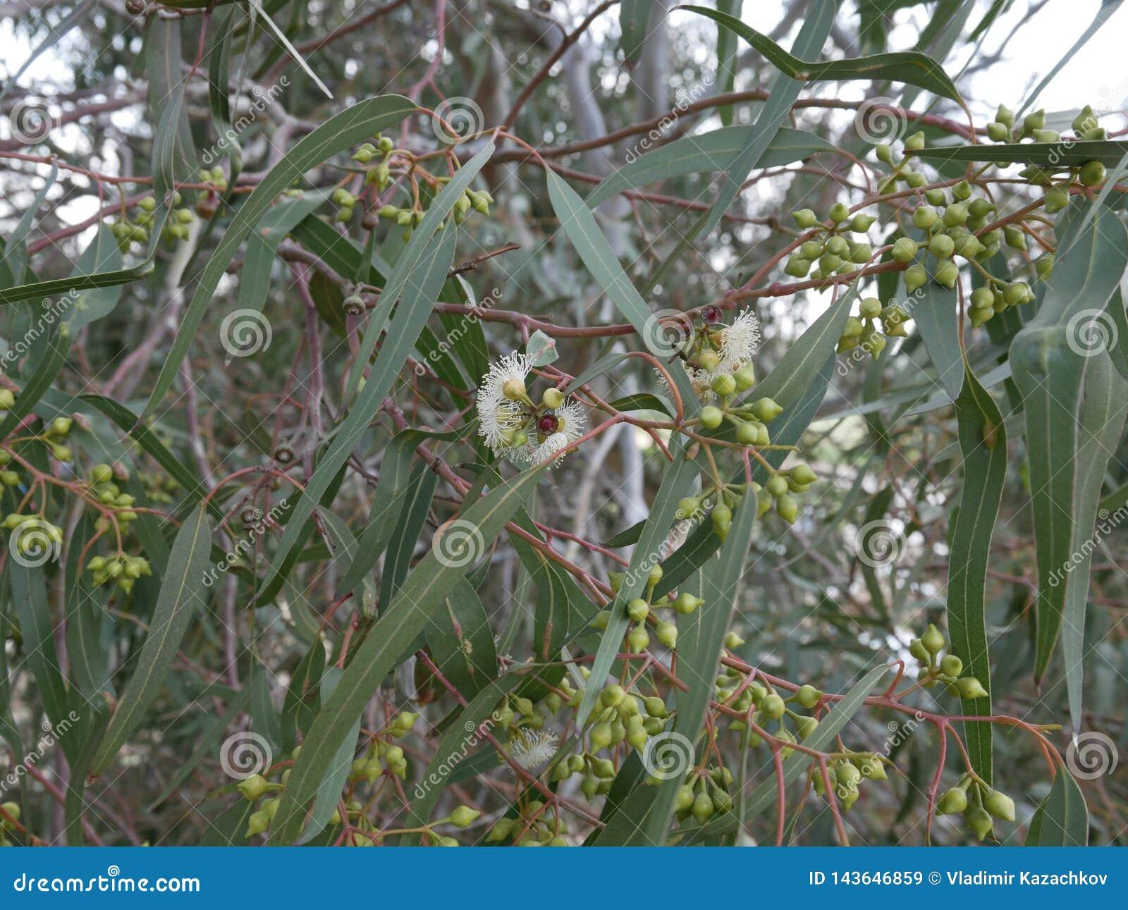 Fiori bianchi dell eucalyptus e nuovo germoglio su un ramo un giorno di molla mallee blu-leaved dell olio Eucalyptus polybractea