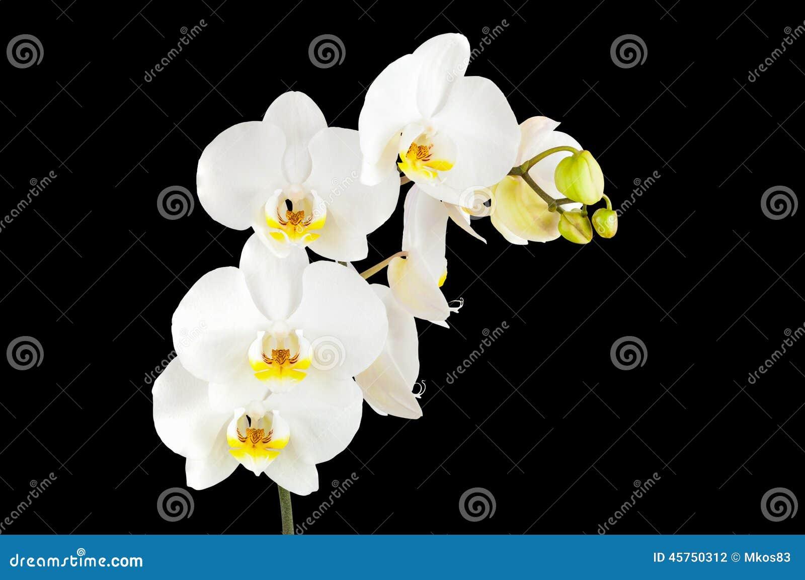 Fiori bianchi dell orchidea isolati su fondo nero