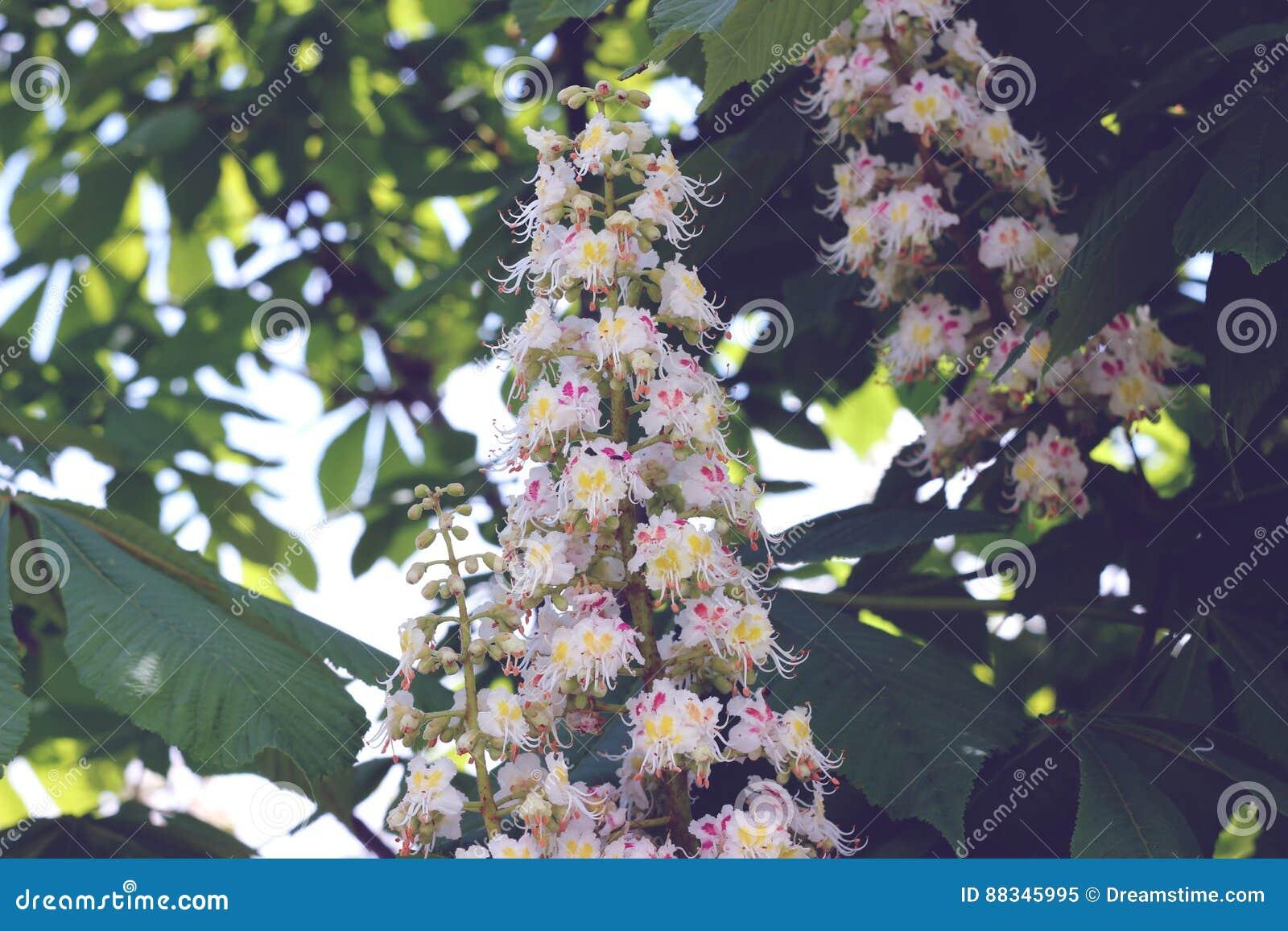 Fiori bianchi della castagna in primavera