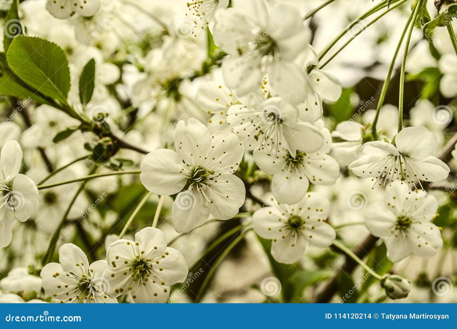Fiori bianchi della ciliegia sui peduncoli lunghi
