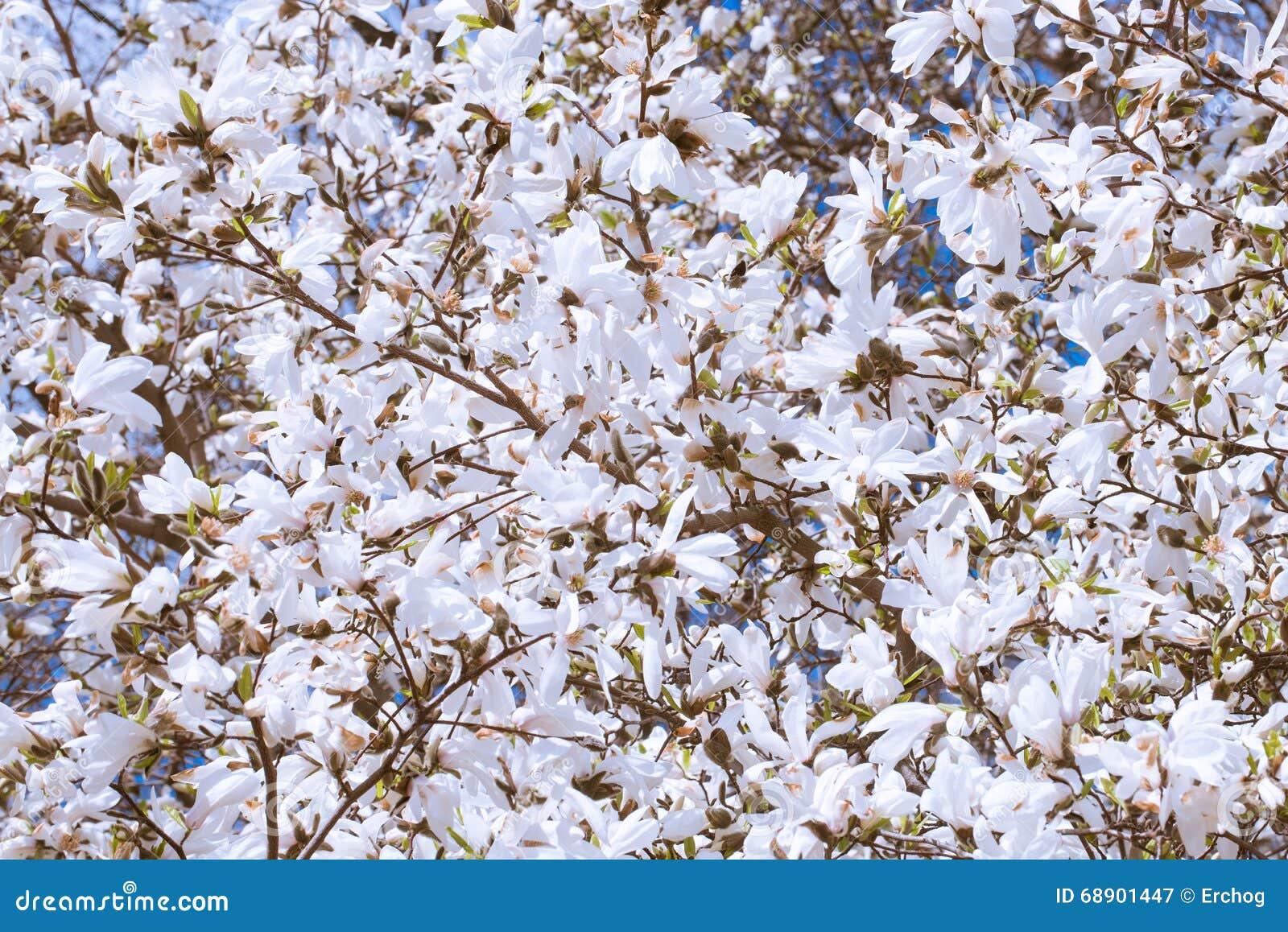 Fiori bianchi della magnolia in primavera immagine stock for Magnolia pianta prezzi