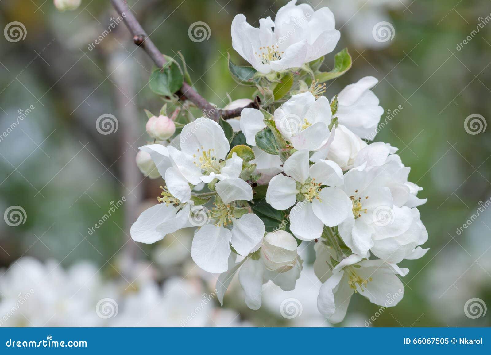 Fiori bianchi della molla del primo piano del ramo dell for Albero da frutto nano