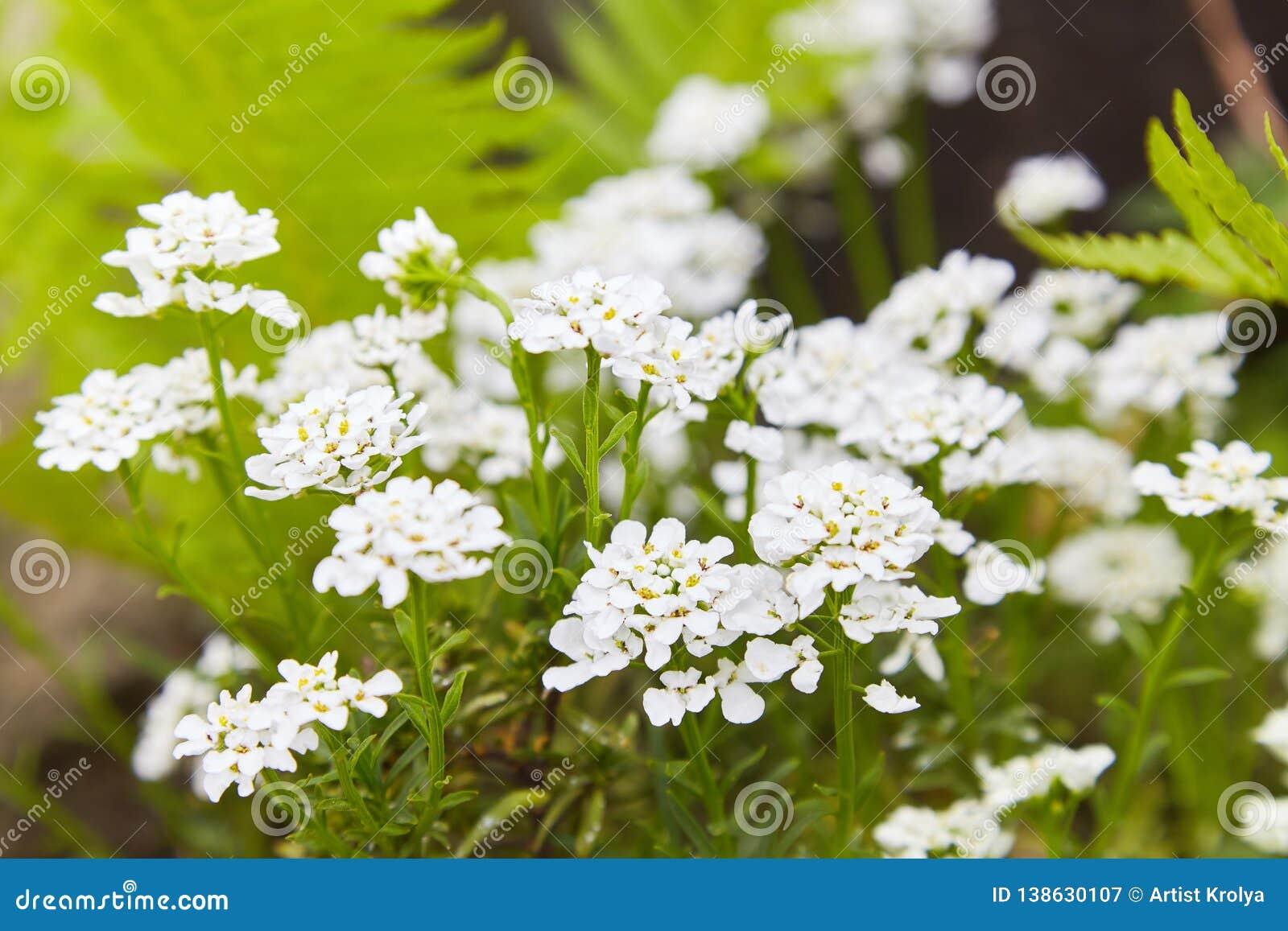 Fiori Bianchi Giardino.Fiori Bianchi Di Caucasica Del Arabis Nel Giardino Immagine Stock