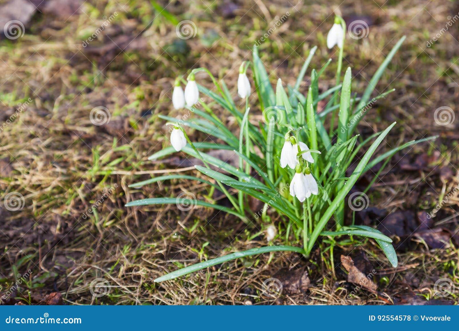 Fiori bianchi di Galanthus di bucaneve su terreno paludoso