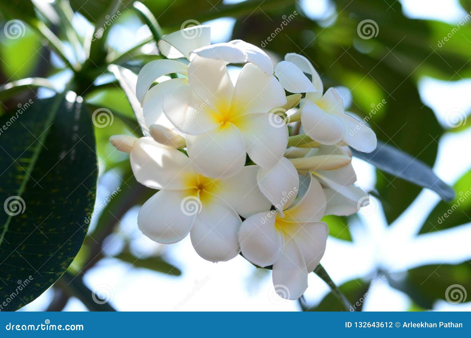 Fiori bianchi di plumeria alla Tailandia