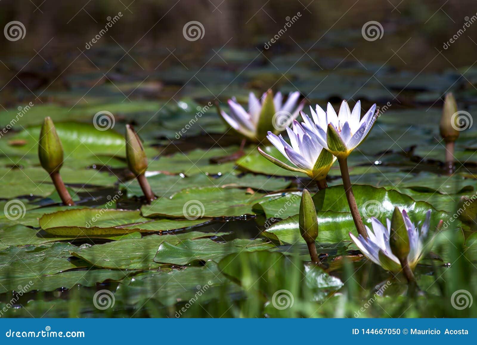 Fiori bianchi e germogli della ninfea che galleggiano su uno stagno