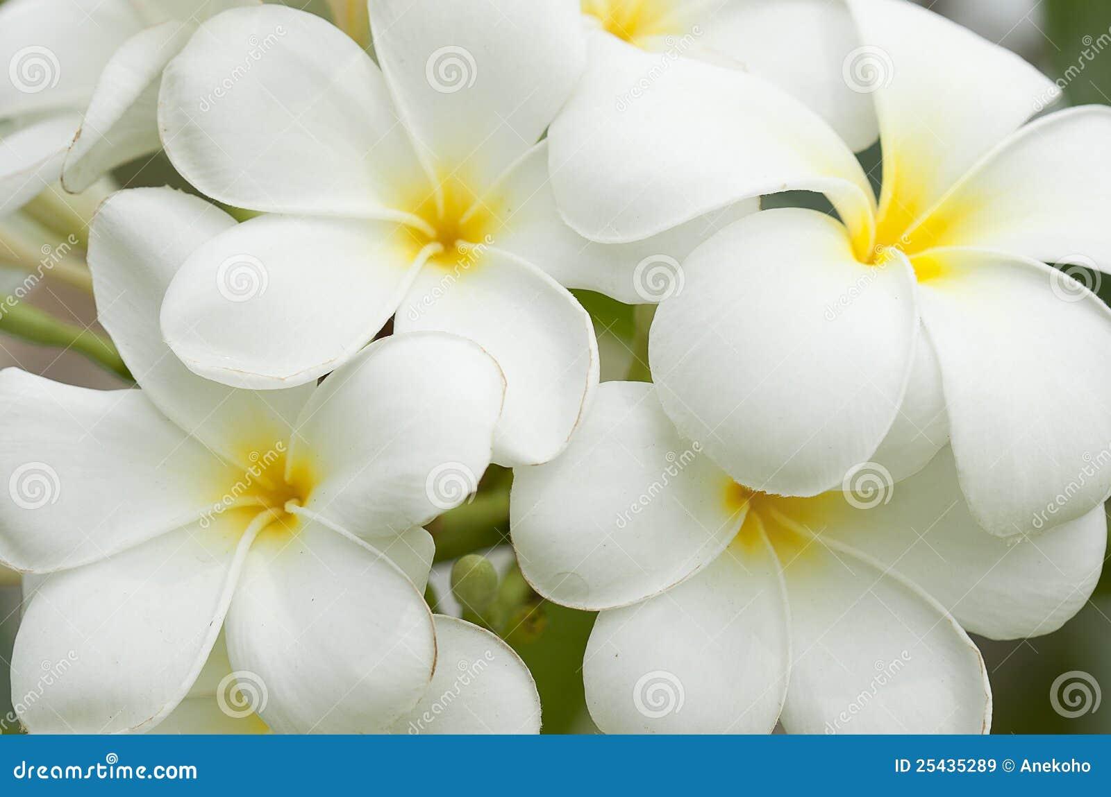 Fiori bianchi e gialli del frangipani immagine stock for Nomi di fiori bianchi
