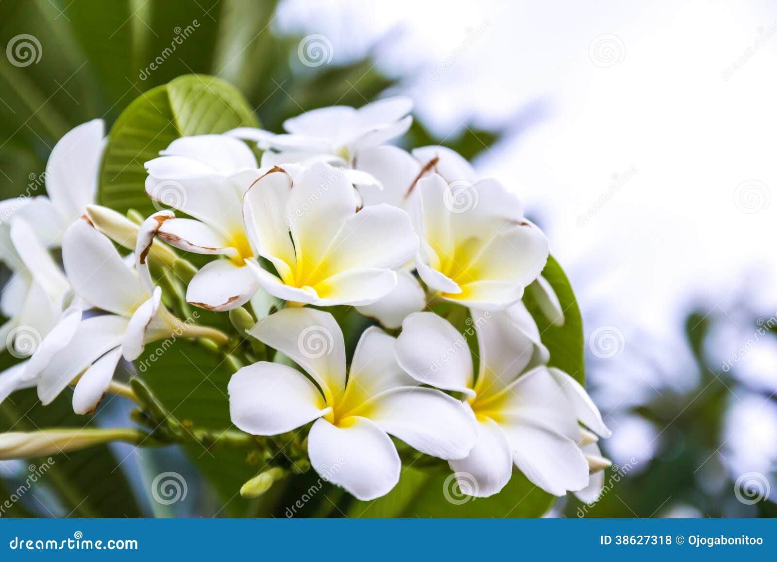fiori bianchi e gialli del frangipani fotografia stock