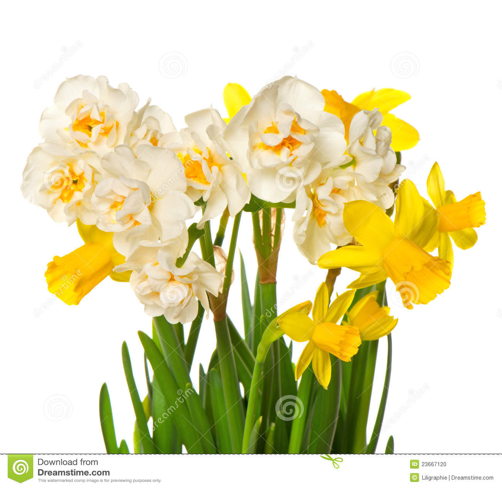 fiori bianchi e gialli della sorgente fresca del narciso