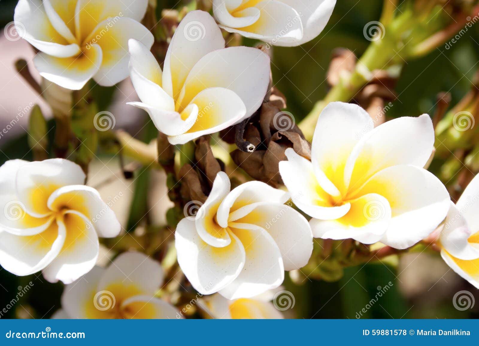 fiori bianchi e gialli di plumeria fotografia stock