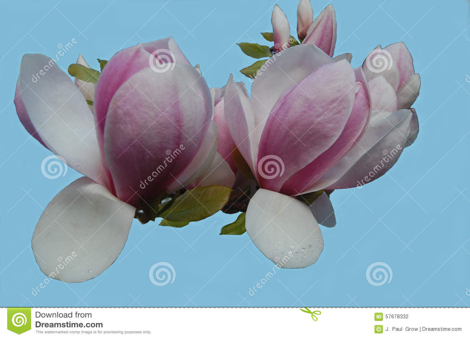 Ha Fiori Bianchi E Rosa.Fiori Bianchi E Rosa Dell Albero Di Tulipano Fotografia Stock