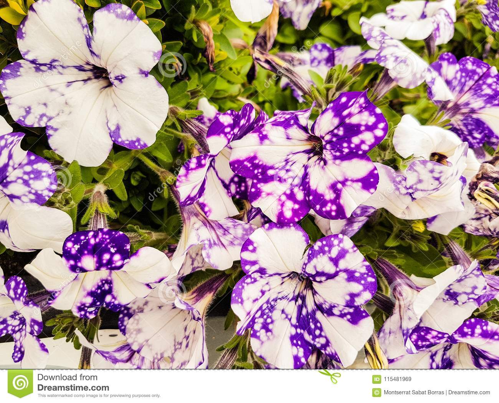Fiori Bianchi Viola.Fiori Bianchi E Viola Della Petunia Immagine Stock Immagine Di