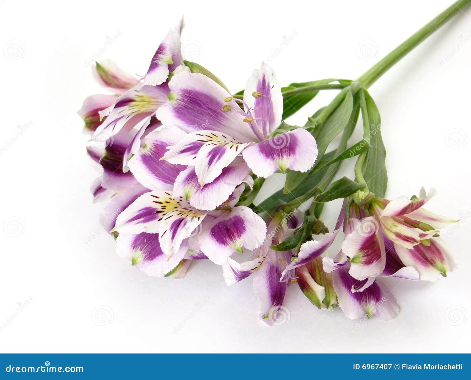 Fiori bianchi e viola di Alstroemeria