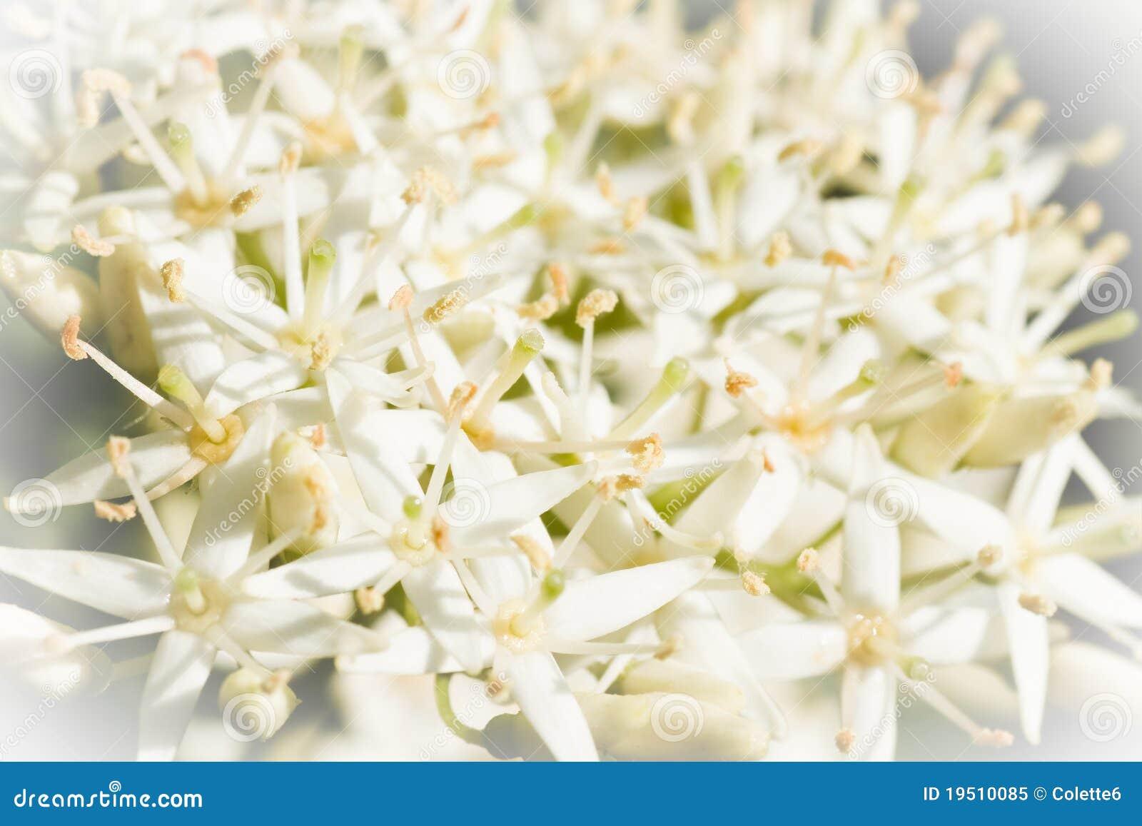 Fiori bianchi molto piccoli della sorgente nella vista for Fiori piccoli bianchi