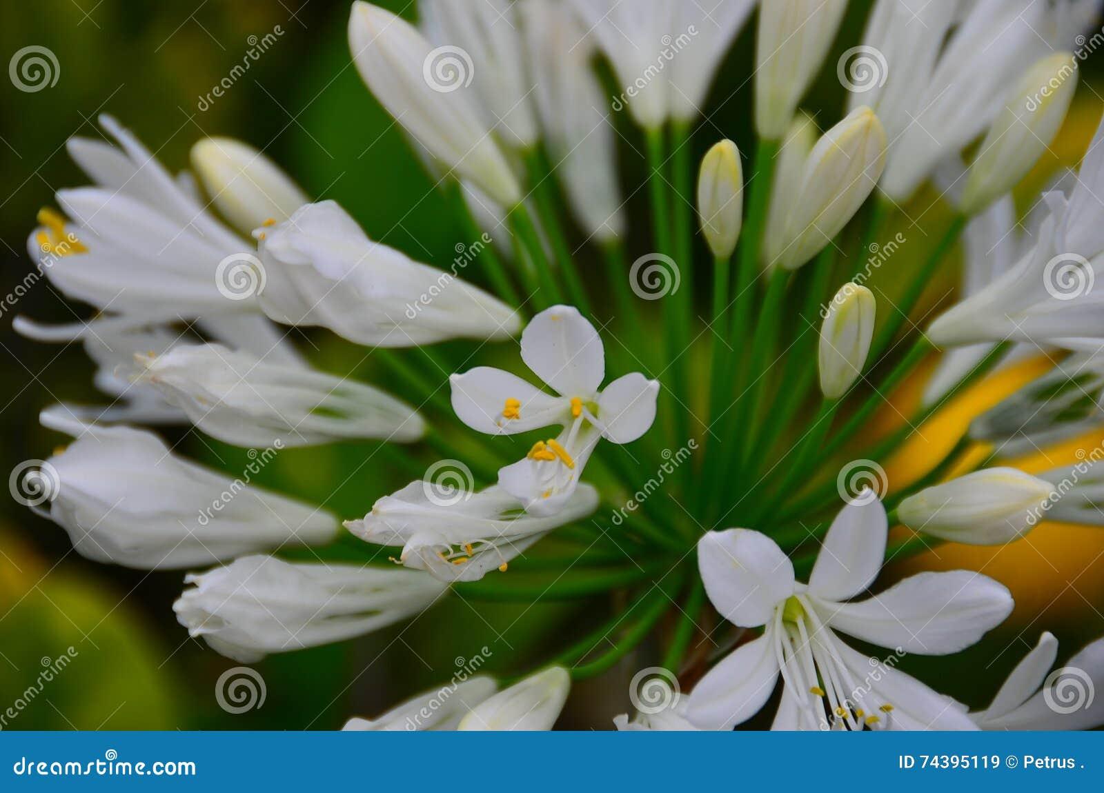 Agapanthus Foglie Gialle fiori bianchi nel giardino della nuova zelanda immagine